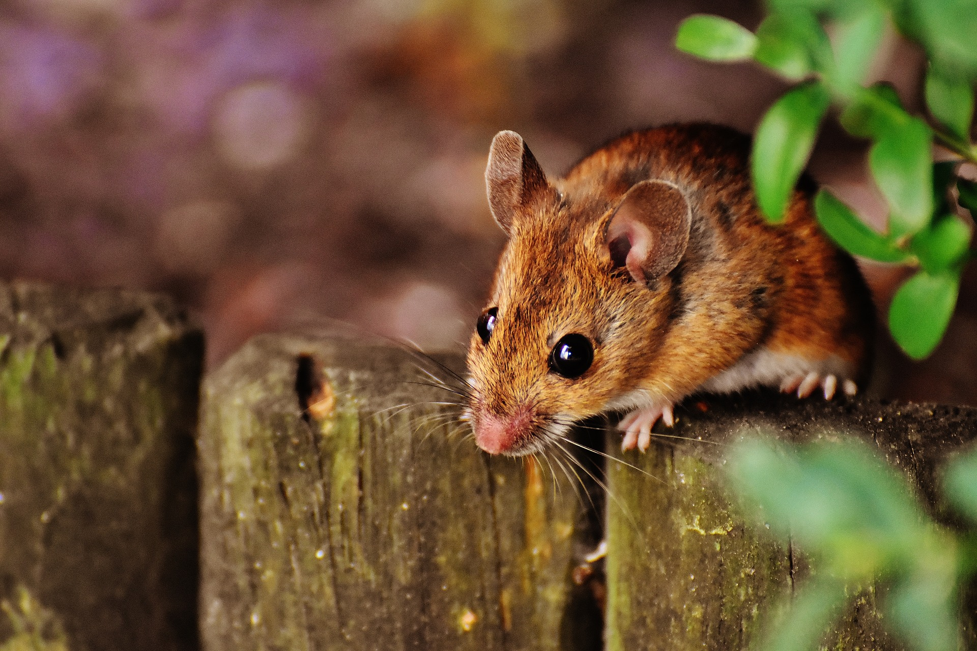 Deratizace myší