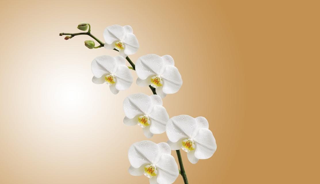 orchidej bílá