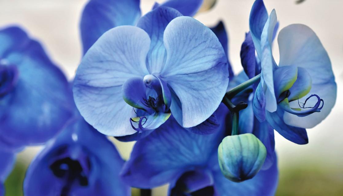 orchidej modrá